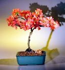 """Bonsai Japanese Flowering Quince - Super Red - Deciduous Outdoor 8 yr 10-12"""" T"""