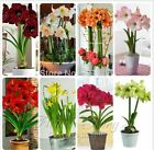 Hippeastrum seeds Amaryllis bulbs flower seeds, flowers Barbados Lily, 2 pcs