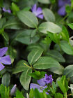 Vinca Minor Periwinkle Perennial Ground Cover  Live Plants 15 - 20 Leads