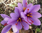SAFFRON CROCUS BULBS HARDY FALL BLOOMING PERENNIAL PLANTS OUTDOOR GARDEN FLOWERS