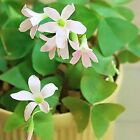 OXALIS~BIRGIT~SHAMROCK BULBS TUBERS GREEN WOOD SORREL FLOWER HOUSE PLANT 5/15/30