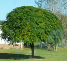 Chinaberry Tree Seeds Beautiful Umbrella Shade Trees - Get your SEEDS!!! From FL