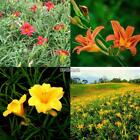 100pcs Daylilies Lily Flowers Seeds 24 Colors Blooming Plants Home Garden Decor