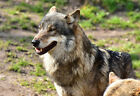 A Timber Wolf With His Pack - Animal Poster Print - Wildlife Photo - Wall Art
