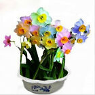 25-50-100-200 Beautiful Rainbow Daffodil Flower Seeds - Buy Any 3 Get 1 FREE!!