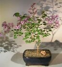 Dwarf Korean Lilac Bonsai Tree Flowering Outdoor Bonsai 6 yr 12