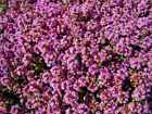Thymus - Creeping Thyme Seeds  Hardy Perennial Herb