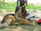 New Strong Metal Wire Basket  Dog Muzzle for  Shepherd Labrador Fully Padded K9