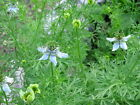 Black Cumin Seeds - Easy to grow annual spice.