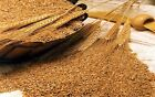Hard red Wheat berries seed for flour, juice, grow or store
