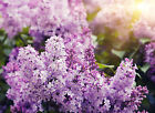 Lilac Type Soap / Candle Making Fragrance Oil 1-16 Ounce **Free Shipping**