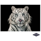White Bengal Tiger Poster Quality Print 260gsm Premium Poster Paper