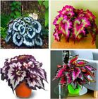 100pcs/bag begonia seeds bonsai flower seeds courtyard balcony Coleus seeds