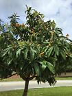 Fresh Loquat Seeds Japanese Plum Tree Tropical Eriobotrya Japonica USA Growth