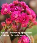 red purple kalanchoe rooted Indoor Easy Grow Cactus Succulent Plant flower