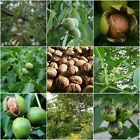 100PCS Pecan Seeds Walnut Tree Seeds Healthy Nuts Year Results American Organic