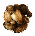 Live Dubia Roaches 100 count 1/4 - 1/2 Inch