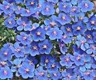 Anagallis monelii - Blue Pimpernel Flower Seeds