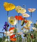 Iceland Poppy - Annual Flower Seeds