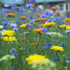 UK native Wildflower Mix for Chalk and Limestone areas - Grass seed mix
