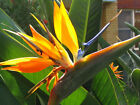 Bird of Paradise -  Seeds - Stunning House or Conservatory Plant