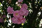 Rosa 'Sommermorgen' - aka rose - a garden tested hardy perennial plant