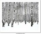 Winter Birch Grove Art Print Home Decor Wall Art Poster - C