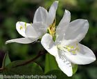 Bauhinia acuminata Dwarf White Orchid Tree Seeds fragrant blooms Compact indoors