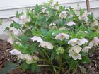 One Blooming Lenten Rose Plant
