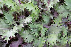 Red Russian Kale Seeds Heirloom Natural Non GMO Flavorful and Colorful