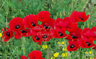 Red Corn Poppy seeds annual wildflower Bright Red Color Attracts Pollinators