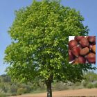 American Chestnut Nut Seeds  Castanea Dentata Castanea This Year Seeds by BRPauL
