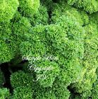 Moss Curled Parsley Garden Seeds Non GMO 80 Day Aromatic Flavor