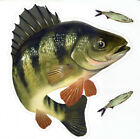 Yellow Perch Large Decal Sticker Right Or Left Facing Boats Trucks Fishing Fish