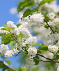 Bird Cherry Trees - Prunus padus  (Tree Saplings/Seedlings)