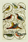 Birds Gold Finch Cross Bill Red Star Pewit Lark Vintage Poster Repro FREE S/H