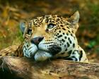 BEAUTIFUL LEOPARD GLOSSY POSTER PICTURE PHOTO cute adorable big cat panther 1374