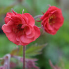 Geum Flame Of  Passion Evergreen Perennial Plant