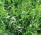 RYE & VETCH TARES  Winter Hardy Green Manure Seed 50g to 25 kg  Bulk , wholesale