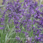 Lavender Munstead Blue 2 Litre Pot