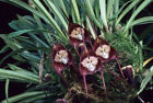 DRACULA ORCHIDS COMPOST, ORCHID BARK SUBSTITUTE, ORCHID SOIL FOR MONKEY ORCHIDS