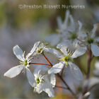 Amelanchier Lamarckii June Berry Standard Tree 180 cm tall Pot Grown Feathered
