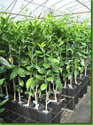 Grafted Lime Trees Persian Key Kaffir Giant Finger Dwarf Available Citrus Fruit