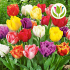 TULIP DOUBLE EARLY MIXED COLOURS BED BORDER SPRING FLOWERS BULBS PLANTS