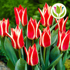 TULIP PINNOCHIO RED WHITE DWARF ROCKERY BED BORDER SPRING FLOWERS BULBS PLANTS