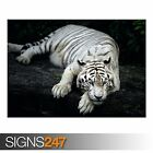 WHITE TIGER ANIMAL (3811) Animal Photo Picture Poster Print Art A0 A1 A2 A3 A4