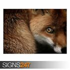 RED FOX (3804) Animal Photo Picture Poster Print Art A0 A1 A2 A3 A4