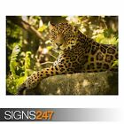 CHINCHA THE JAGUAR (3795) Animal Photo Picture Poster Print Art A0 A1 A2 A3 A4