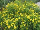 ORGANICALLY GROWN St. John's Wort Seed NON-GMO Antidepressant Mood Booster