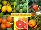 * Ruby Red Grapefruit * USDA Inspected *Healthy ( GIFT IDEA )